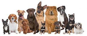 Jenis-Jenis Anjing Peliharaan