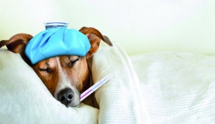 Beberapa Penyakit Pada Anjing Yang Sering Terjadi