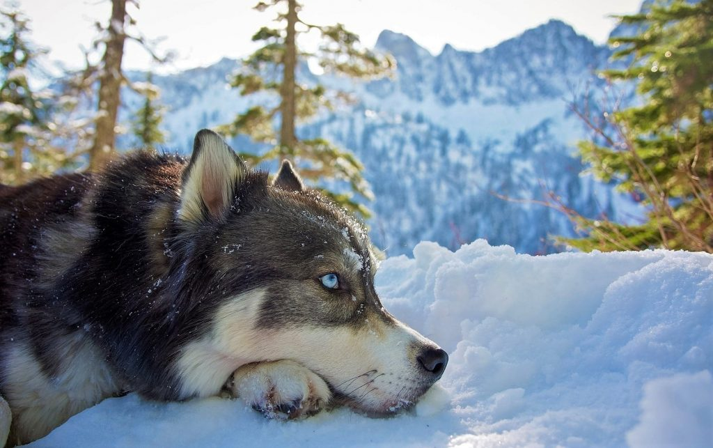 Cara Merawat Anjing Siberian Husky Dengan Baik