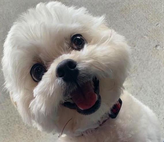 Langkah-langkah Merawat Anjing Shih Tzu