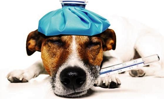 Metode Menangani Anjing Yang Sedang Terkena Sakit