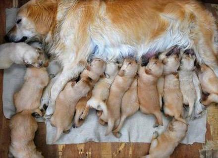 Tahapan Membantu Proses Anjing Yang Sedang Melahirkan