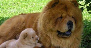 Jenis Anjing Termahal Di Seluruh Dunia