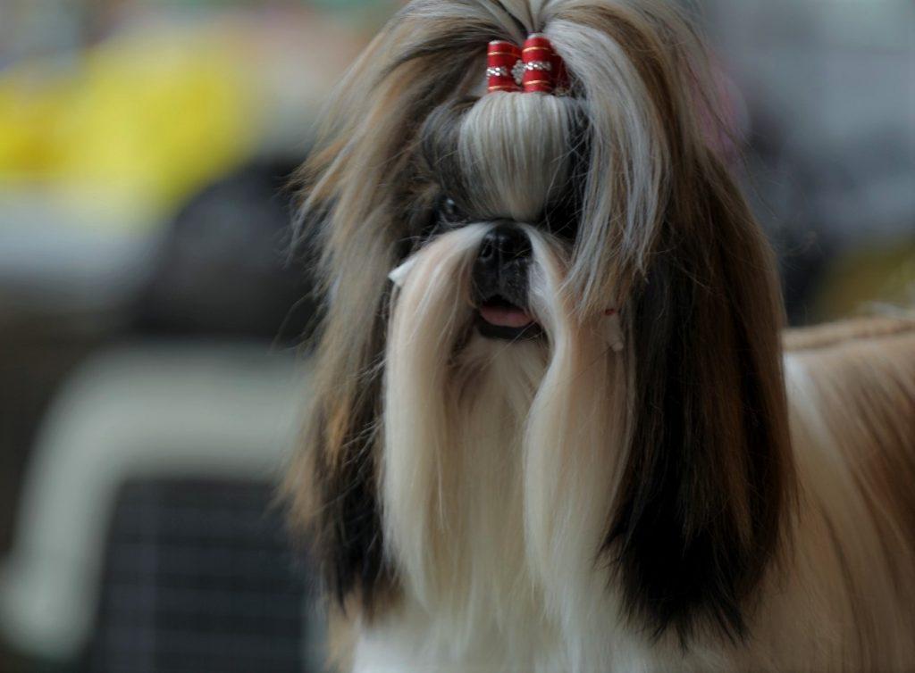 Cara Melihara Hewan Anjing Jenis Shih Tzu