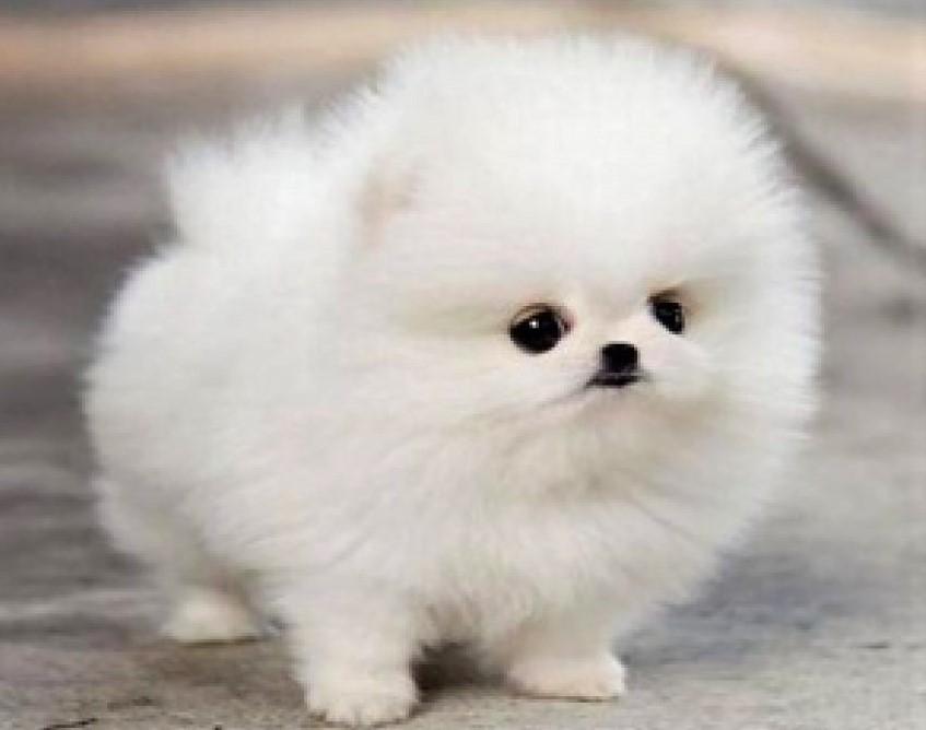 Keunggulan Dalam Memiliki Anjing Mini Pom