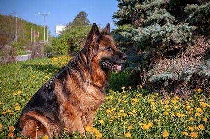 Langkah Memelihara Anjing Herder Dengan Mudah