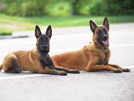Sejarah Dan Cara Merawat Anjing Kampung