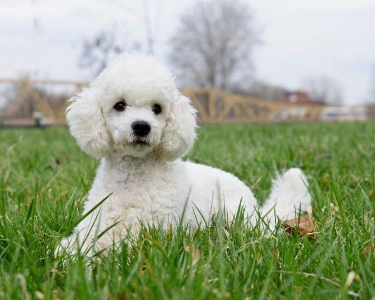 Mengenal Lebih Dekat Ras Anjing Pudel Lebih Detail