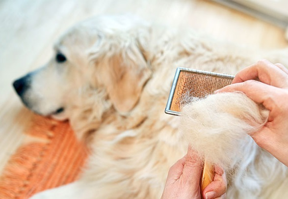 Penyebab Bulu Anjing Yang Rontok Terus