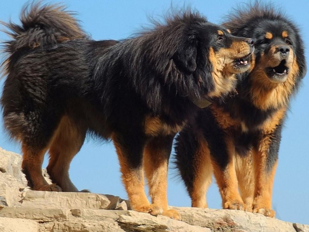 Kumpulan Anjing Yang Jarang Ditemui Alias Langka